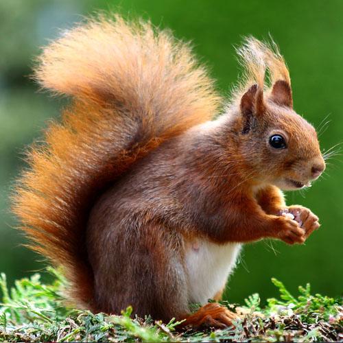 Eichhörnchen Gruppe